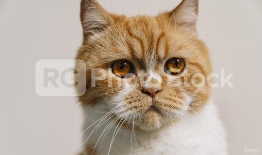 striped grumpy cat with orange eyes looks  : Stock Photo or Stock Video Download rcfotostock photos, images and assets rcfotostock | RC-Photo-Stock.: