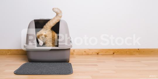 Tabby cat step inside a litter box and poops or pee, banner size, copyspace for your individual text.  : Stock Photo or Stock Video Download rcfotostock photos, images and assets rcfotostock | RC-Photo-Stock.: