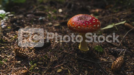 Toxic and hallucinogen mushroom Fly Agaric in grass on autumn forest background. Red poisonous Amanita Muscaria fungus macro close up in natural environment. Inspirational natural fall landscape  : Stock Photo or Stock Video Download rcfotostock photos, images and assets rcfotostock   RC-Photo-Stock.: