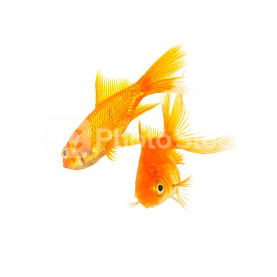 Two goldfishes swims   : Stock Photo or Stock Video Download rcfotostock photos, images and assets rcfotostock   RC-Photo-Stock.: