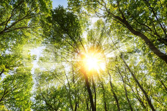 warm morning sun dramatically casting intense rays through the treetop  : Stock Photo or Stock Video Download rcfotostock photos, images and assets rcfotostock | RC-Photo-Stock.: