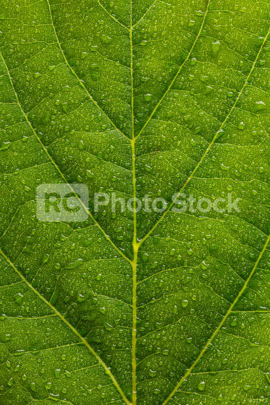 water drops on a leaf texture background  : Stock Photo or Stock Video Download rcfotostock photos, images and assets rcfotostock | RC-Photo-Stock.:
