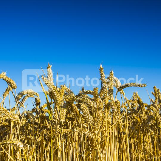 wheat harvest, wheat field on the background of blue sky in the sun.  agriculture.  : Stock Photo or Stock Video Download rcfotostock photos, images and assets rcfotostock   RC-Photo-Stock.: