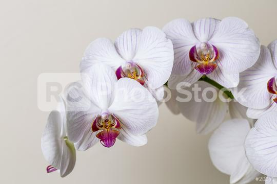 white Orchid flowers on brown background  : Stock Photo or Stock Video Download rcfotostock photos, images and assets rcfotostock | RC-Photo-Stock.: