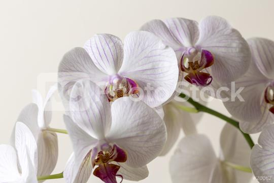white Pink Orchid flowers on brown background  : Stock Photo or Stock Video Download rcfotostock photos, images and assets rcfotostock   RC-Photo-Stock.: