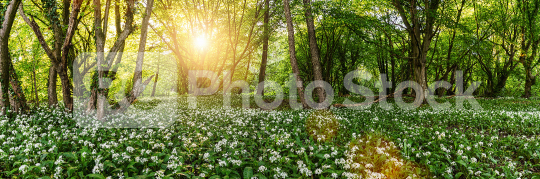 Wild garlic forest in germany at spring with beautiful bright sun rays panorama  : Stock Photo or Stock Video Download rcfotostock photos, images and assets rcfotostock   RC-Photo-Stock.: