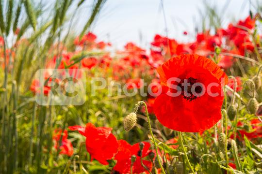Wild papaver rhoeas or poppy flowers growing wild in the country  : Stock Photo or Stock Video Download rcfotostock photos, images and assets rcfotostock | RC-Photo-Stock.: