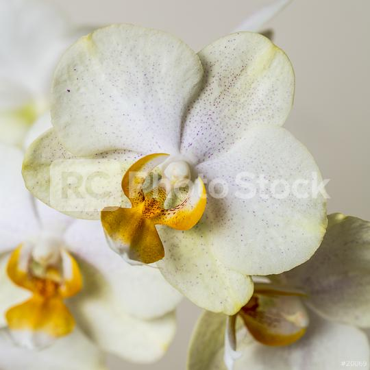 yellow white Orchid flowers on brown background  : Stock Photo or Stock Video Download rcfotostock photos, images and assets rcfotostock | RC-Photo-Stock.: