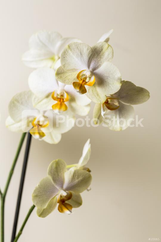yellow white Orchid flowers Wellness on brown background  : Stock Photo or Stock Video Download rcfotostock photos, images and assets rcfotostock   RC-Photo-Stock.: