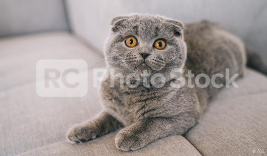 young kitten lying on a couch. The Scottish Fold Shorthair with blue gray fur.  : Stock Photo or Stock Video Download rcfotostock photos, images and assets rcfotostock | RC-Photo-Stock.:
